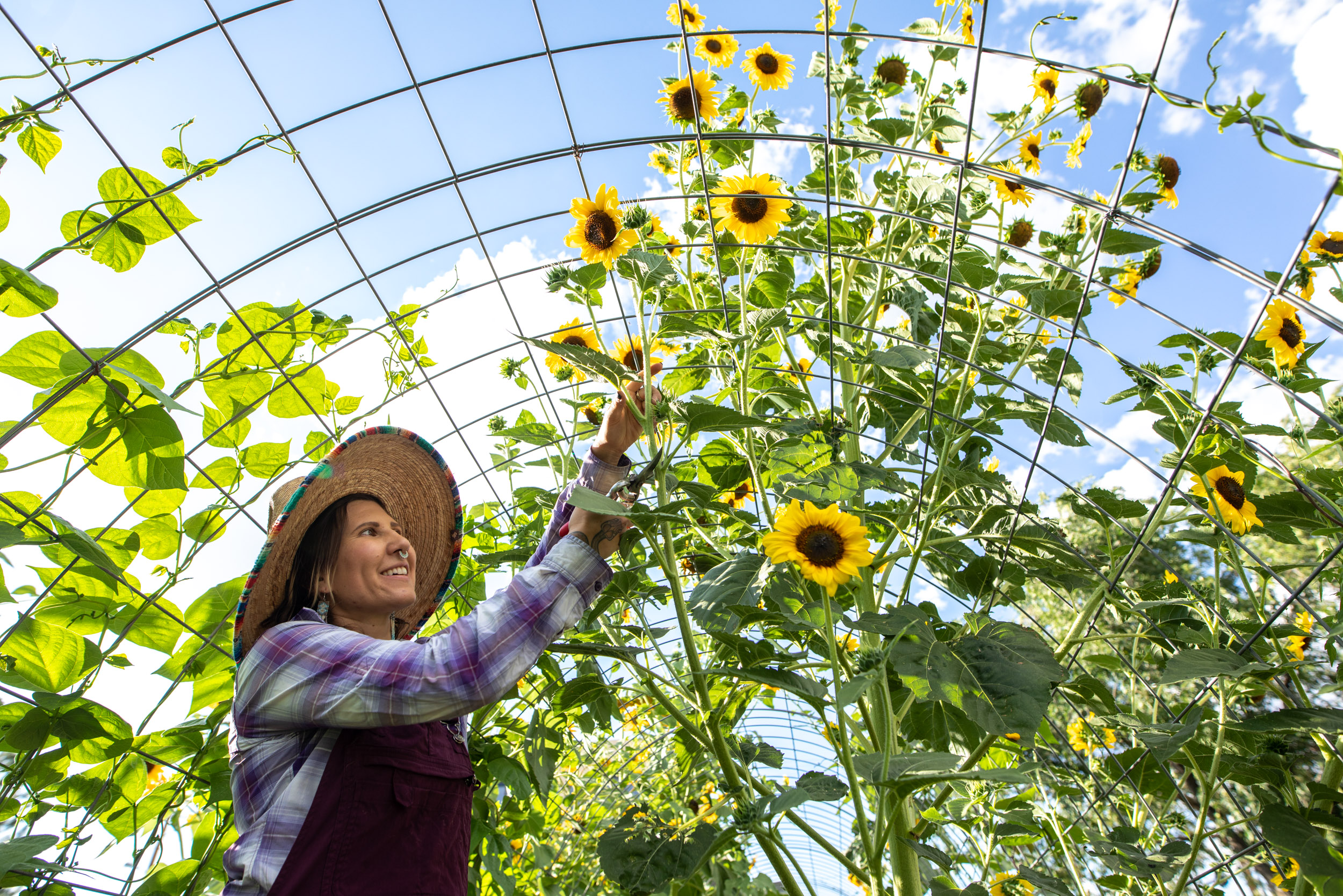 woman inspects sunflowers